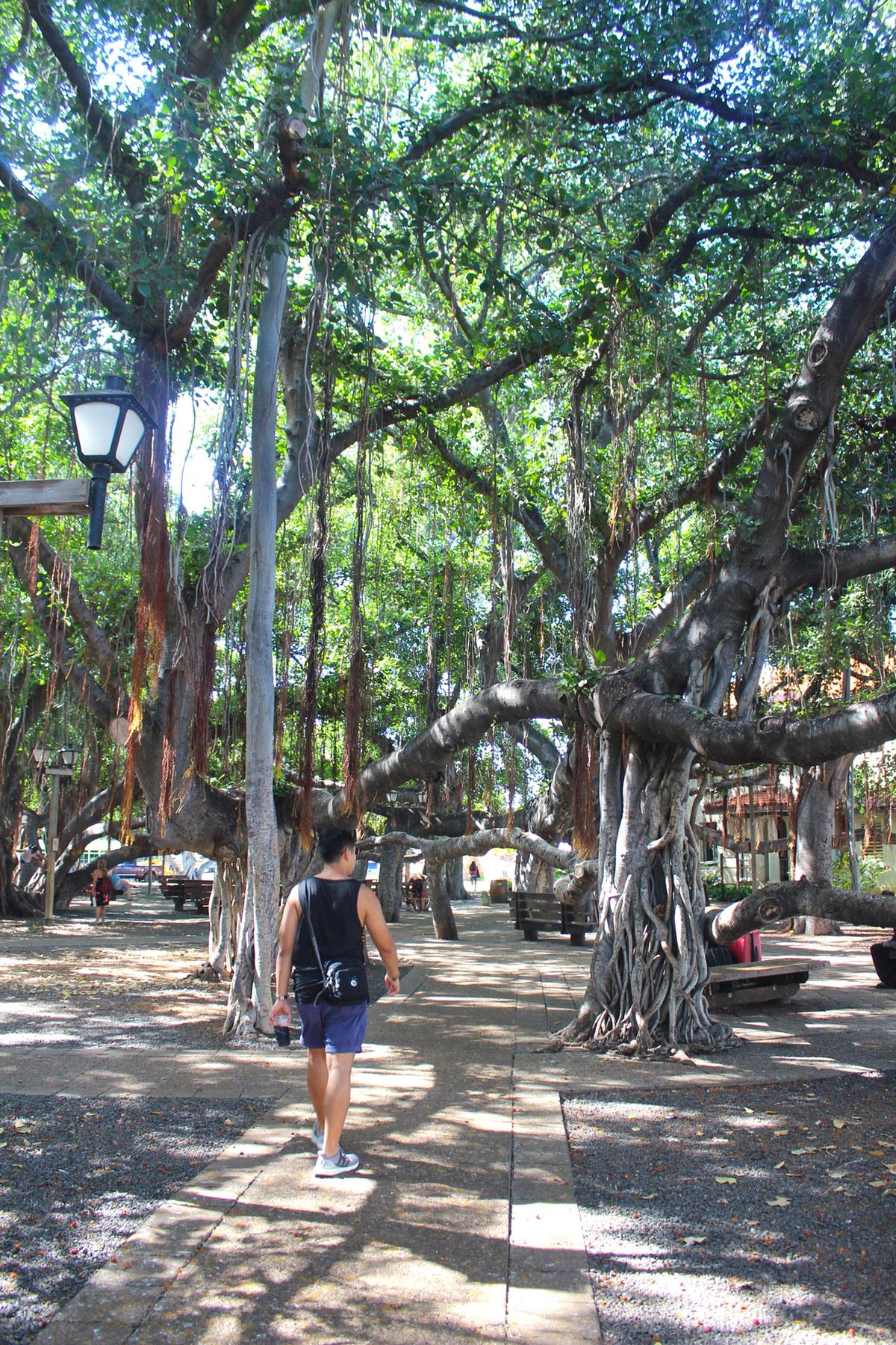 Old Banyan Tree, Maui - PearlMargaret.com